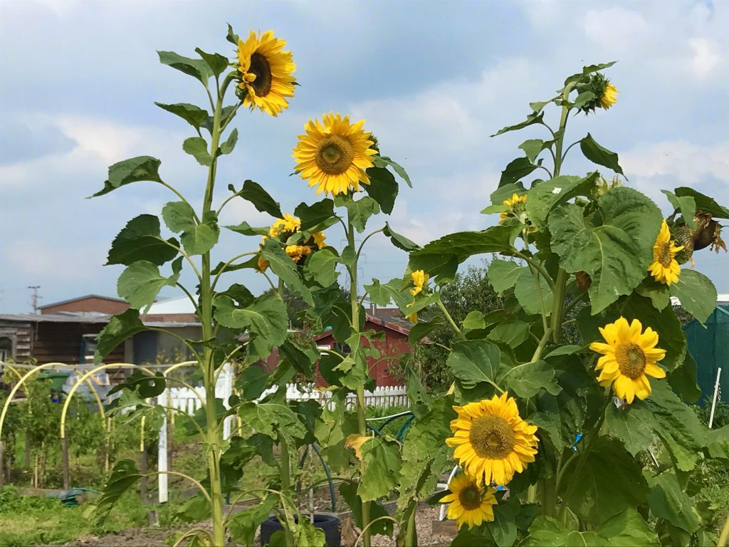 Sunflowers at the Churchdale Allotments